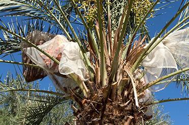 Arboretum Date Palms